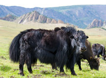 Grazing yaks Stock Photos