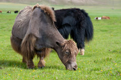 Grazing yaks Royalty Free Stock Photos