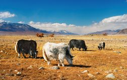 Grazing yaks Royalty Free Stock Images