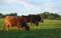 Grazing with yaks stock photo