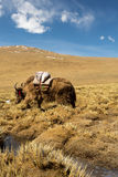 Grazing yaks in spring Tibet, China Stock Images