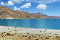 Grazing by the Yamdrok Tso Lake Royalty Free Stock Photo