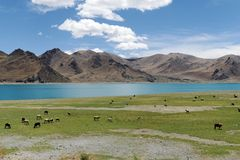 Grazing by the Yamdrok Tso Lake Stock Image