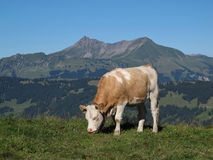 Grazing young cow in front of a mountain Stock Photo