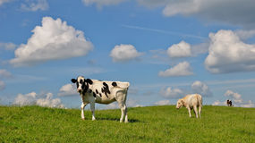 Grazing young Dutch cows at a grassy embankment. Against a blue sky with some white clouds Royalty Free Stock Photos
