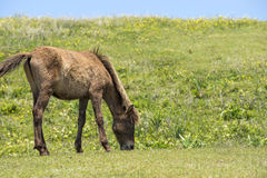Grazing young horse Royalty Free Stock Photography
