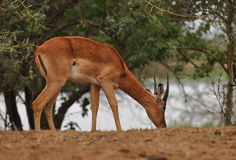Grazing young impala male Royalty Free Stock Photos