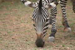 Grazing zebra. Details of single grazing zebra outdoors Royalty Free Stock Photography