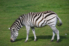Grazing Zebra. A zebra is grazing on the grass Royalty Free Stock Photography