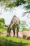 Grazing zebra. Closeup of zebra grazing on grass with boulders in background Stock Photos