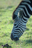 Grazing zebra Royalty Free Stock Images