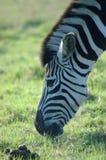 Grazing zebra. Outdoor head profile portrait of a grazing zebra Royalty Free Stock Images