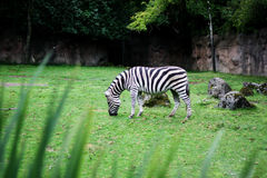 Grazing zebra Royalty Free Stock Photos