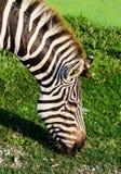 Grazing Zebra Stock Images