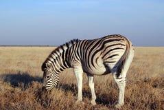 Grazing zebra Royalty Free Stock Photography