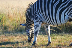 GRAZING ZEBRA ON THE GRASS. stock image