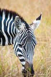 Grazing Zebra Stock Photography
