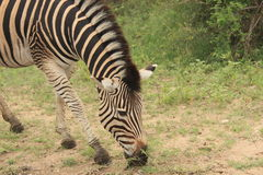 Grazing Zebra in Kruger national park game reserve in South Africa Royalty Free Stock Photo
