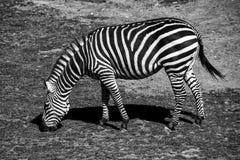 Grazing zebra Royalty Free Stock Images