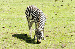 Grazing  Zebra Royalty Free Stock Image