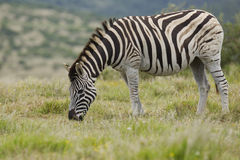 Grazing Zebra Stock Images