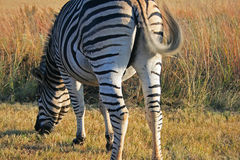 GRAZING ZEBRA WITH SWISHING TAIL. Black and white zebra grazing grass stock images