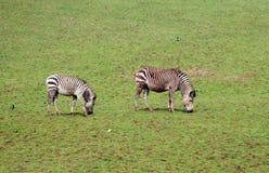 Grazing zebra Stock Photo