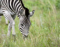 Grazing zebra with veld Stock Photos
