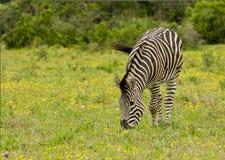 Grazing zebra Stock Photos