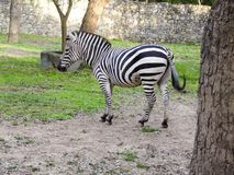 Lonely zebra grazing in the field at the zoo stock photography