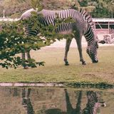 Grazing zebra and reflection Stock Images