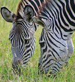 Grazing Zebras. Close-up royalty free stock photos