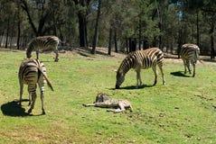Grazing Zebras Stock Photography