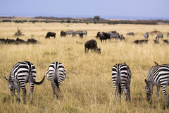 Grazing zebras. View of backside of four zebra grazing in a field Stock Images