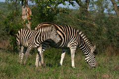 Grazing Zebras. Zebras grazing at Kruger Park in South Africa Royalty Free Stock Images