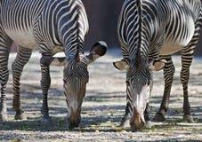 Grazing zebras Royalty Free Stock Photography