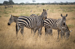 Grazing zebras in bush in Tsavo West reservation Royalty Free Stock Image