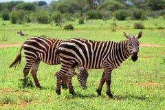 Grazing zebras Royalty Free Stock Photos