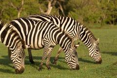 Three zebras grazing on grass. Grazing zebras on the grasslands of the Maasai Mara, Kenya Royalty Free Stock Photos