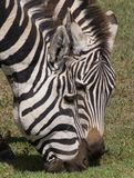 Portrait of grazing zebras. Heads of grazing zebras in the Ngorongoro caldera, Ngorongoro Conservation Area, Tanzania Stock Image