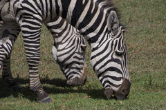 Grazing zebras. Heads of grazing zebras in the Ngorongoro caldera, Ngorongoro Conservation Area, Tanzania Royalty Free Stock Photos