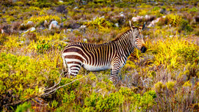 Free Grazing Zebras In Cape Point Nature Reserve Royalty Free Stock Image - 98120026
