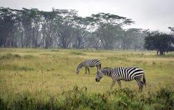 Grazing zebras in Lake Nakuru National Park. In Kenya Royalty Free Stock Photos