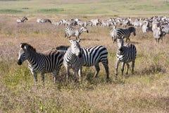 Grazing Zebras In Tanzania Royalty Free Stock Photography