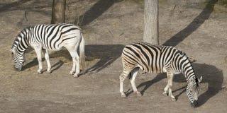 Grazing zebras Royalty Free Stock Image