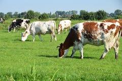 Grazings αγελάδες Στοκ Εικόνες
