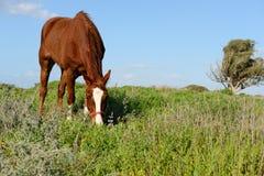Grazinng horse Stock Photo