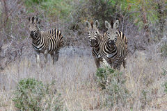 grazzing在领域的三匹斑马` s 免版税库存图片