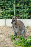 Grazzing Red-necked Wallaby (Macropus rufogriseus) Stock Images