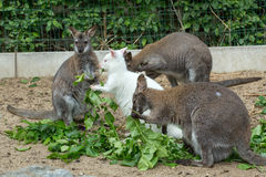 Grazzing Red-necked Wallaby (Macropus rufogriseus) Stock Photos